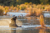Brown bear shakes water off its fur in the Brooks River, Katmai National Park, Alaska.