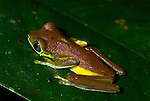 Lemur Leaf Frog, Hylomantis lemur, on leaf, nocturnal night time colouration, Guayacan, Provincia de Limon, Costa Rica, Amphibian Research Center, tropical jungle, South America, Endangered, Threatened.Central America....
