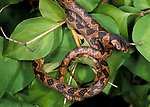 Blunt Headed Tree Snake, Imantodes cenchoa, curled on shrub/bush, Belize
