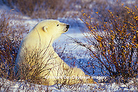 01874-07604 Polar Bear (Ursus maritimus) lying in Willows  Churchill  MB