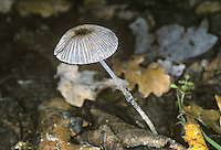 Pleated Inkcap - Coprinus plicatilis