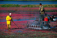 Men harvesting cranberries. Carver, Massachusetts.