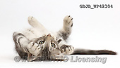 Kim, ANIMALS, REALISTISCHE TIERE, ANIMALES REALISTICOS, fondless, photos,+Silver tabby kitten, Loki, 11 weeks old, lying on his back,++++,GBJBWP42304,#a#