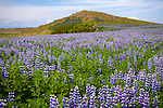 Field of Blooming Lupines and Volcano near Stykkisholmur in Iceland