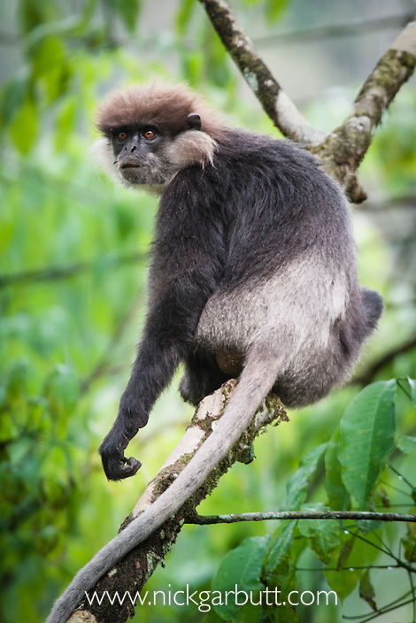 Purple-faced Langur or Leaf Monkey (Trachypithecus vetulus) in forest canopy. Sinharaja National Park, Sri Lanka.