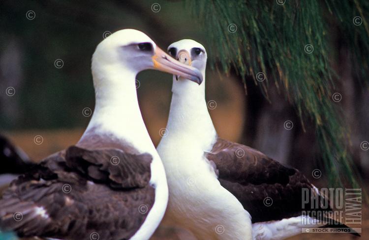 Two adult Laysan Albatrosses at the Kilauea wildlife refuge on the Big Island