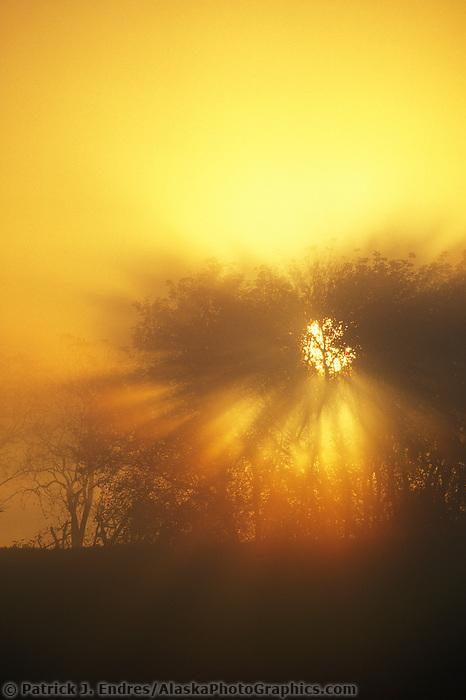 Elm tree in foggy morning sunrise, Monroe, Wisconsin