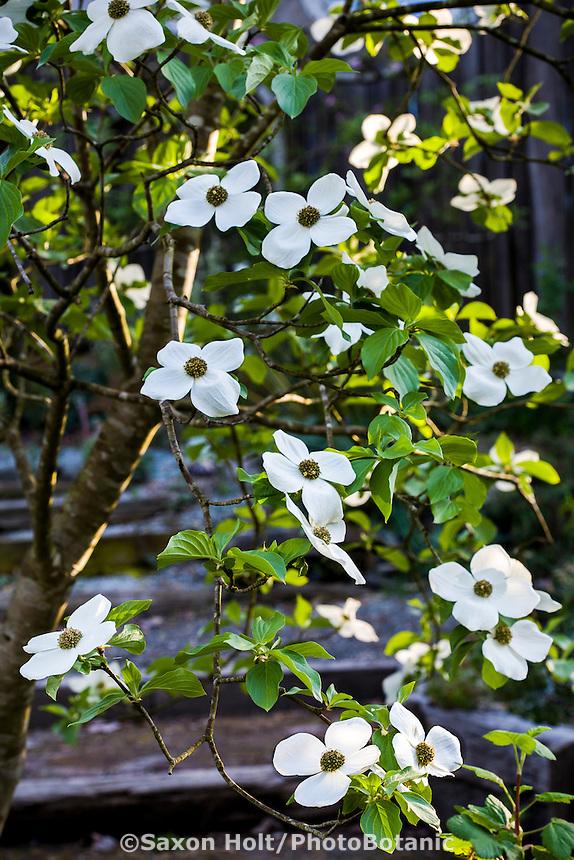 White flower Pacific Dogwood small tree Cornus nuttallii in Phil Van Soelen spring garden California native plants