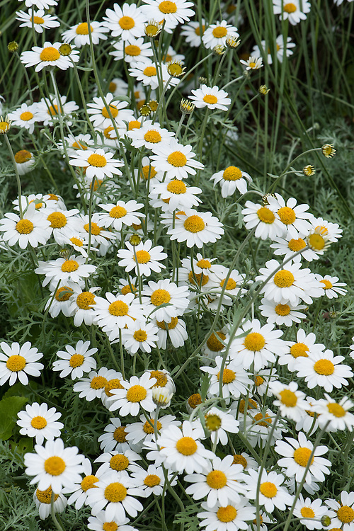 Anthemis punctata subsp. cupaniana, late May. Sicilian chamomile, an evergreen perennial forming a loose mat with finely dissected silvery foliage and yellow-centred white daisies.