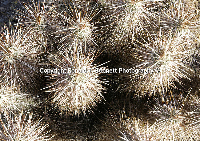 cholla cactus, Opuntia genus, shrubby cacti with cylindrical stems composed of segmented joints,jumping cacti, Cylindropuntia fulgida, jumping cholla, hanging chain cholla,tree like plant, tuberculate, hectares, Arizona, State of Arizona, Southwest, desert, Arizona, State of Arizona, Southwest, desert, 48th State, Last of contiguous states, Phoenix, Scottsdale, Grand Canyon, Indian reservations, four corners, desert landscape, exrophyte, western United States, Southwest, Mountains, plateaus, ponderosa pines, Colorado River,  Mountain lion, Navajo Nation, No daylight savings time, Arizona Territory, Arizona, AR, Ariz, Airzona, Arizonia, Arizone, AZ, Fine Art Photography by Ron Bennett, Fine Art, Fine Art photography, Art Photography, Copyright RonBennettPhotography.com ©