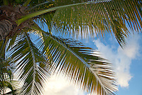 Looking up through the fronds of a palm tree in the Caribbean<br /> Virgin Islands