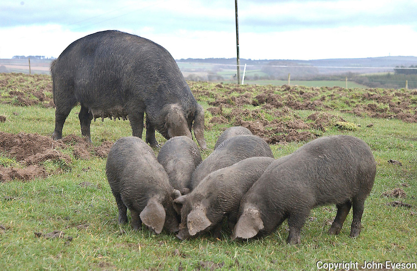Large Black sow with 7 week old piglets, feeding, Cornwall.