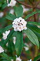 Fragrant pale pink flowers of the evergreen shrub Daphne 'Spring Herald' (D. acutiloba x D. bholua), late February.