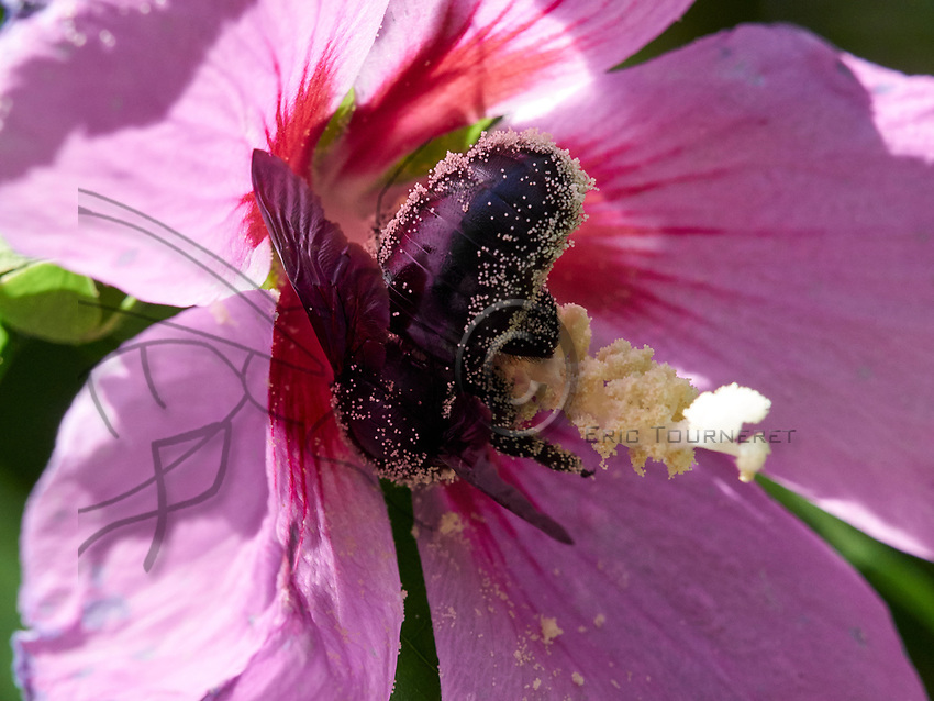 A carpenter bee covered in pollen gathers nectar from a hollyhock.<br /> Une abeille charpenti&egrave;re couverte de pollen butine une rose tr&eacute;mi&egrave;re.