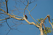 Fazenda Bauplatz, Brazil. Red crested woodpecker (Dryocopus sp.) perched on a branch.