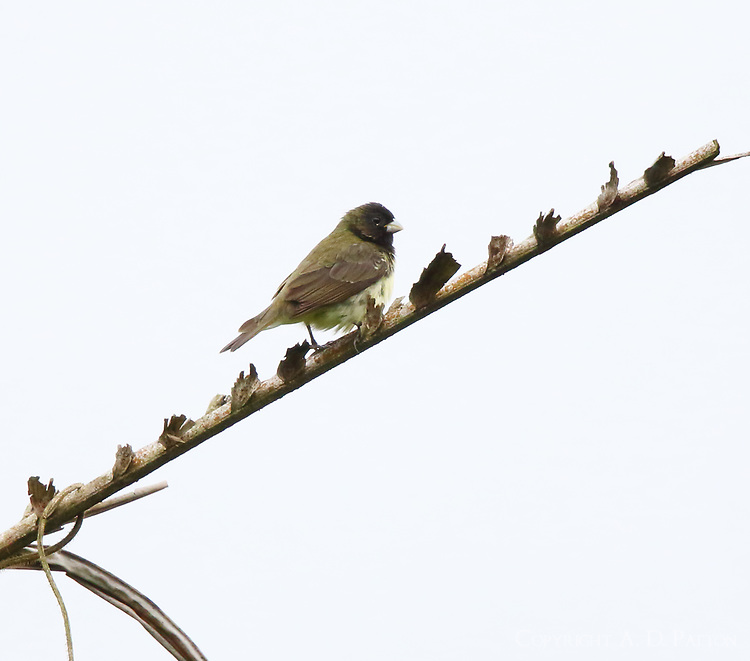 Male yellow-bellied seedeater