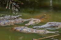 freshwater crocodile, Crocodylus johnstoni, Queensland, Australia
