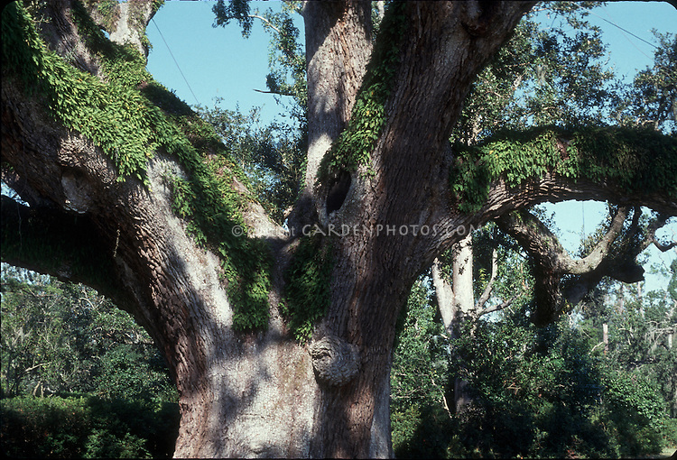Trunk and spreading branches of an old Southern Live Oak Tree, Quercus virginiana