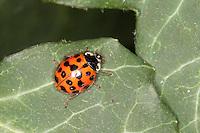 Asiatischer Marienkäfer, Harlekin, Harmonia axyridis, Asian lady beetle, Harlequin lady beetle