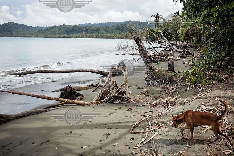 A dogs walks among some dead palm trees lying on the sea shore. Locals blame logging companies for environmental damage that they claim has been a recent development in their region.