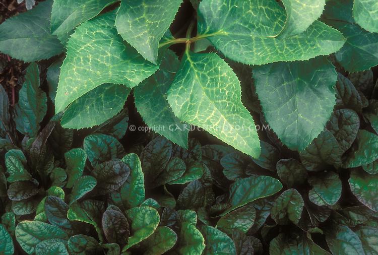 Helleborus x ballardiae & Ajuga reptans in planting combination of foliage plant leaves