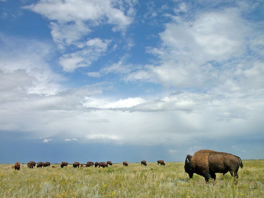 A bull and its herd at the bison range in Buffalo Pound Provincial Park near Moose Jaw, Sask. MARK TAYLOR GALLERY