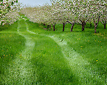 Apple blossoms in the rain at the Johnston apple orchard in Ellsworth, Maine, USA