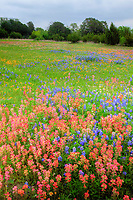 Texas bluebonnets (Lupininus texensis), and Indian paintbrush  (Castilleja sp.), Texas Hill Country, Texas