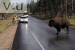 Biosn and tourists causing a traffic problem. Yellowstone National Park, Wyoming