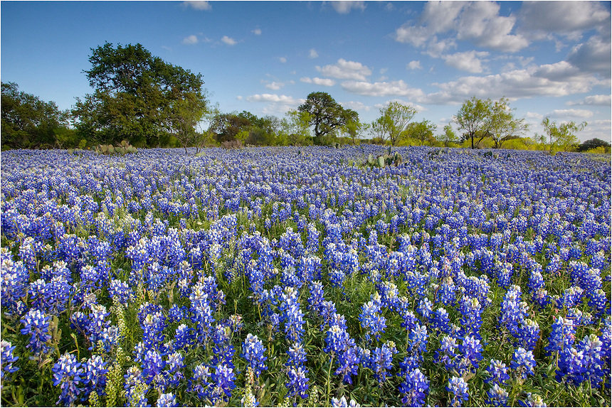 On a dirt road near Mason, Texas, bluebonnets covered the fields, turning everything blue and purple with these colorful Texas wildflowers.