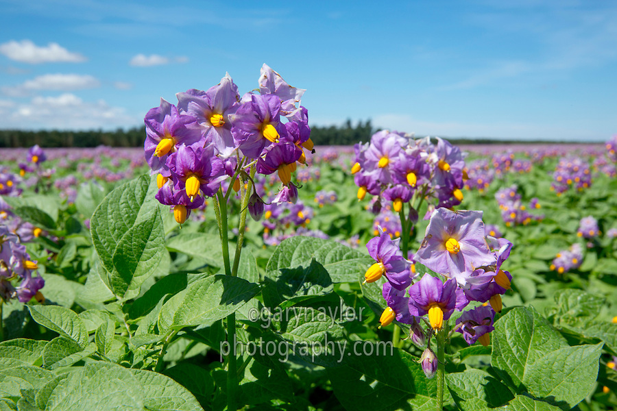 Maris Peer potatoes in flower - Norfolk, July