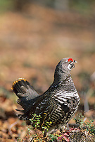Male Spruce grouse in boreal forest, spring, Fairbanks, Alaska