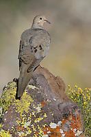 Mourning Dove - Zenaida macroura