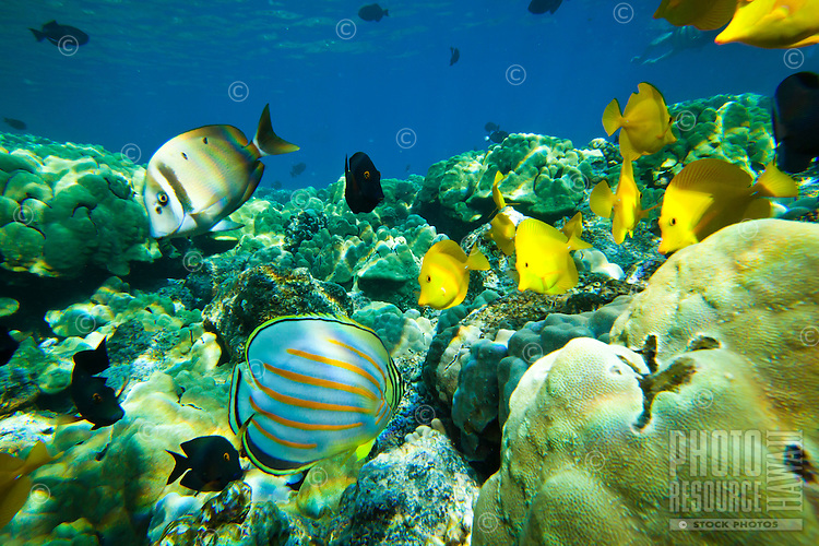 A snorkeler's view of yellow and achilles tang, surgeon fish and butterfly fish at Kealakekua Bay, Big Island