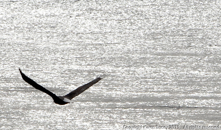 An eagle flies along the Columbia River in Schawana, Washington on February 8, 2011.  (photo credit Karen Ducey)