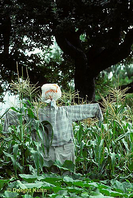 HS56-002a  Corn - scarecrow in corn field