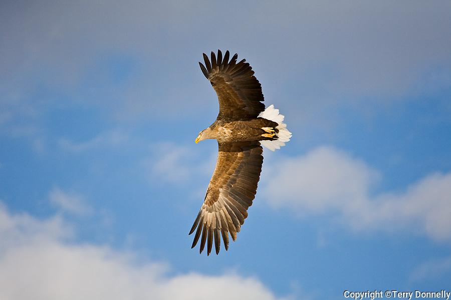 Hokkaido, Japan<br /> White tailed sea eagle (Haliaeetus albicilla) in flight, near Tsuri Village