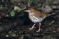 Wood Thrush, Hylocichla mustelina,adult, High Island, Texas, USA, April 2001