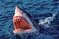 great white shark, Carcharodon carcharias, lunging with mouth open, showing jaws with rows of sharp teeth, South Africa (dm)