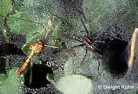 KO01-001a  Grass Spider - with crane fly prey - Agelenopsis utahana