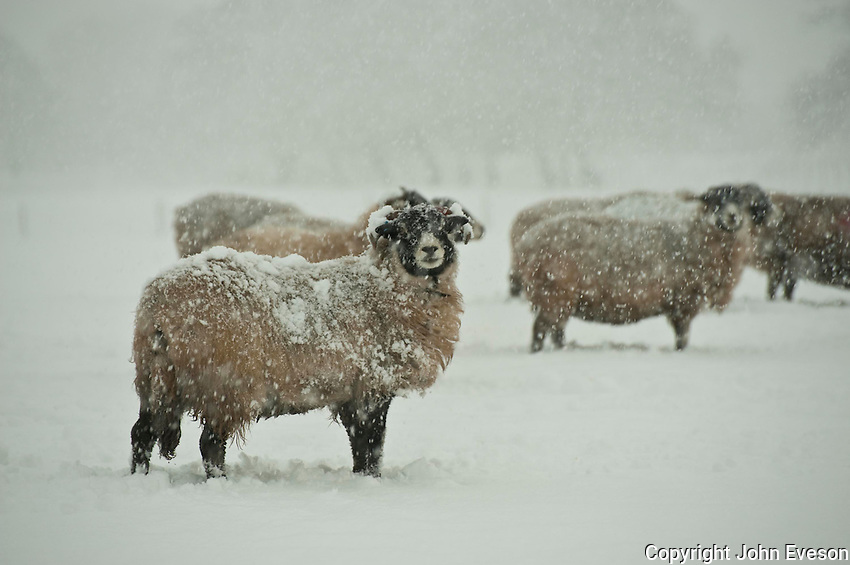 Swaledale ewes in snow, Whitewell,Lancashire.