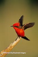 01233-002.10 Vermillion Flycatcher (Pyrocephalus rubinus) male Starr Co. TX