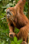 A Sumatran orangutan grasps her foot and looks with interest left of frame