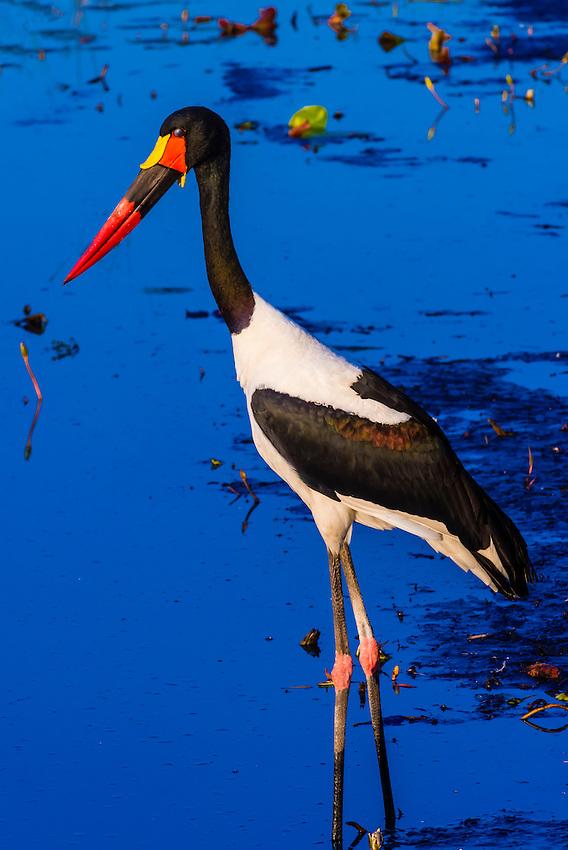 Saddle-billed stork standing in a shallow stream, near Kwara Camp, Okavango Delta, Botswana.