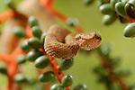 Eyelash Pit Viper (Bothriechis schlegelii), Costa Rica. Captive.