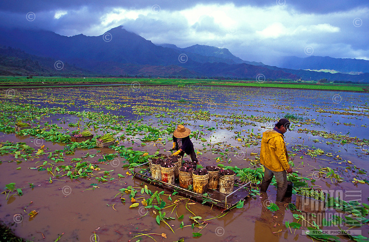 Workers harvesting kalo (taro) on the Haraguchi family farm, Hanalei