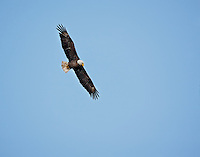 Bald Eagle in flight, hunting, looking at ground