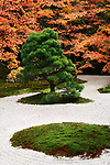 Japanese black pine tree, Pinus thunbergii, at Tenjuan Temple Garden in autumn scenery, Nanzen-ji complex, Kyoto, Japan 2017 Image © MaximImages, License at https://www.maximimages.com