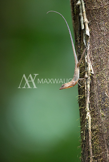 Anoles are a common sight in the rainforest.