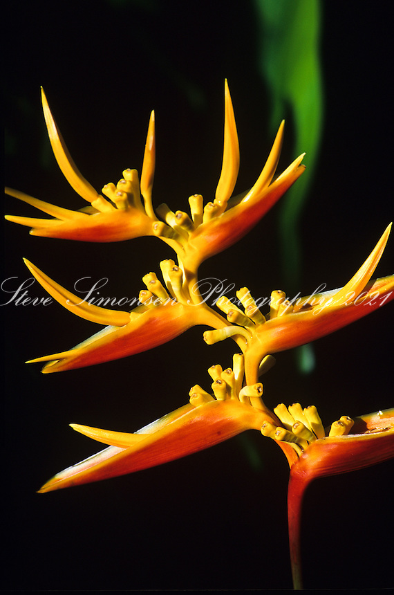 Bird of Paradise Flowers<br /> Virgin Islands